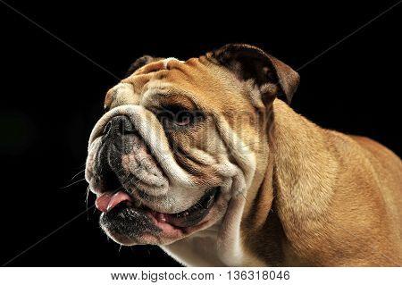 Bulldog Portait In A Black Photo Studio