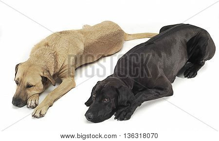 Two Mixed Breed  Brown Dog Lying In A White Backgound Studio