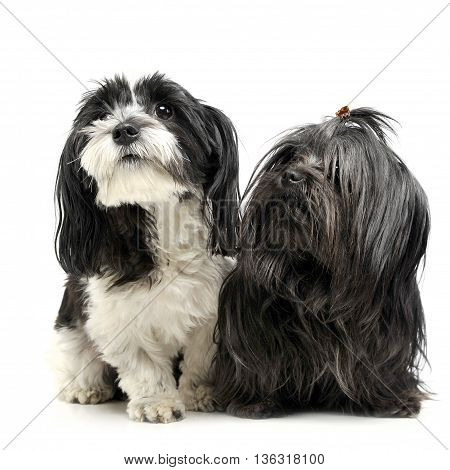 Shi Tzu And A Havanese Are Sitting In A White Studio And Looking Up