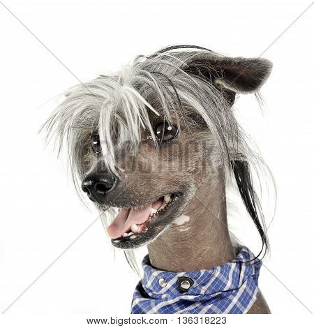 Very Cute Chinese Crested Dog  Portrait In White Background