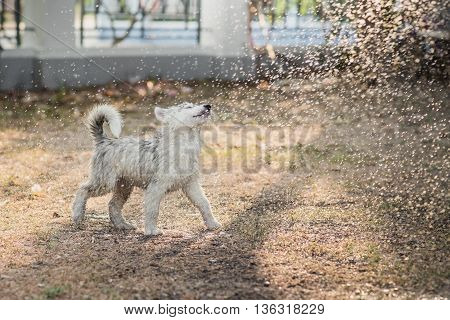 Cute siberian husky puppy water from a hose outdoors