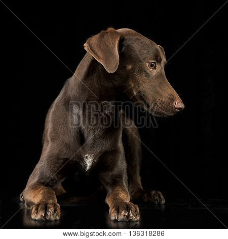 Funny Ears Mixed Breed Brown Dog Lying In Black Studio Background