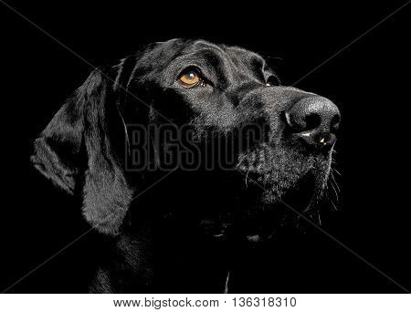 Mixed Breed Black Dog Portrait In Black Background