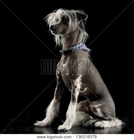 Very Cute Chinese Crested Dog Sitting In Black Background