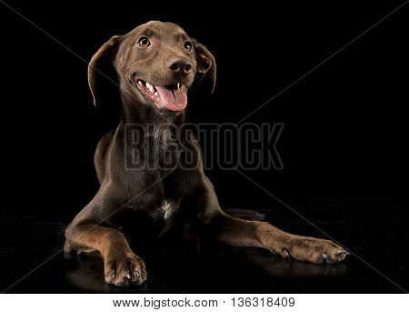 Funny Ears Mixed Breed Brown Dog Relaxing In Black Studio Background