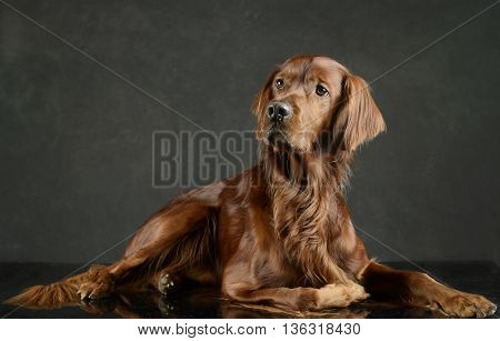 English Setter Relaxing In A Photo Studio