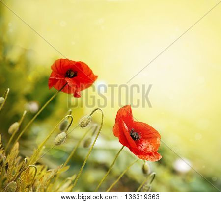 Poppy flowers in rays sun. Field of red poppies in bright evening light.