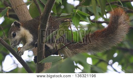 Finlayson's squirrel eating fruit in a tree near Songkhla, Thailand