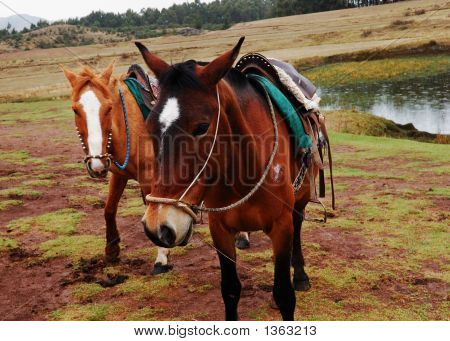 Two Horses By A Small Pond