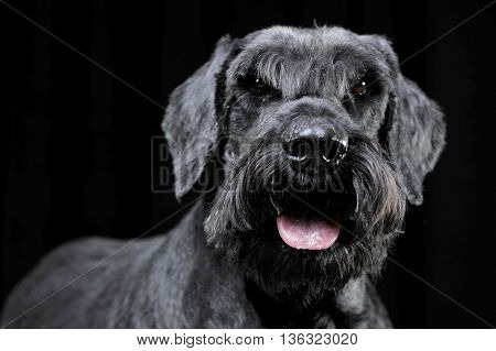 Strong schnauzer portrait in a black background