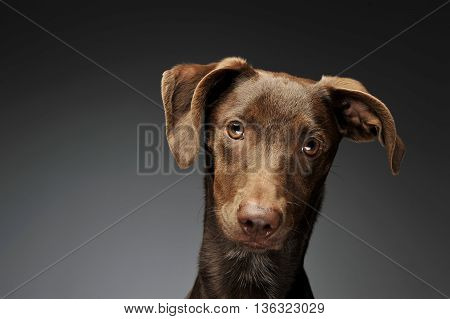 Beautiful Flying Ears Mixed Breed Dog Portrait In Graybackground