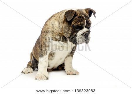Puppy Bulldog Sitting And Looking Down In White Studio