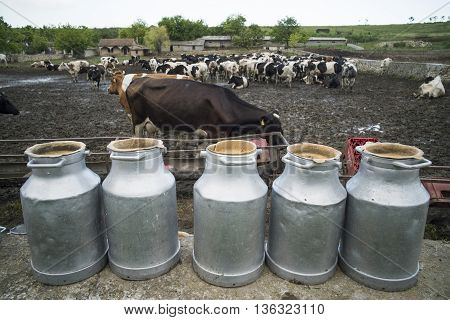 Color image of some Holstein cows in a stable.