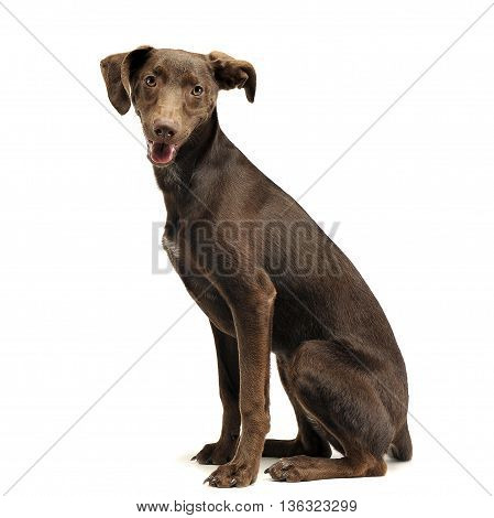 Beautiful Flying Ears Mixed Breed Dog Sitting Sideways And Looking At You In White Studio