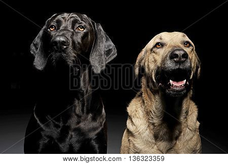 Mixed Breed Brown And Black Dog With Magic Eyes Portrait In Black Background