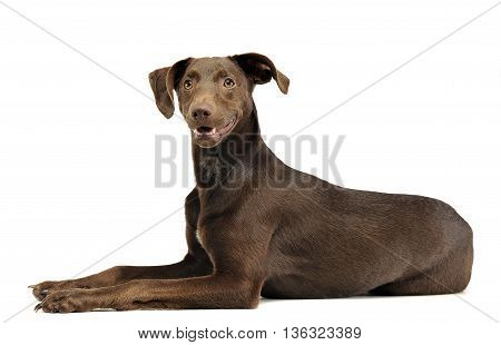 Beautiful Flying Ears Mixed Breed Dog Relaxing In White Studio