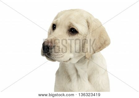 Puppy Labrador Retriever Looking Sideways In A White Studio