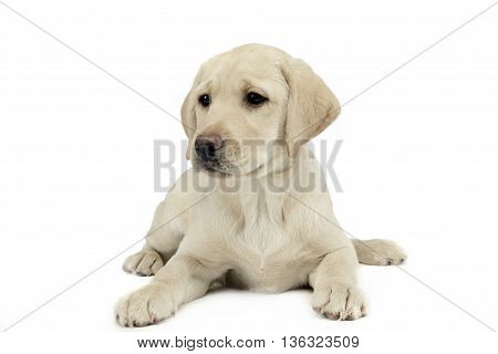 puppy labrador retriever lying and looking sideways in a white studio