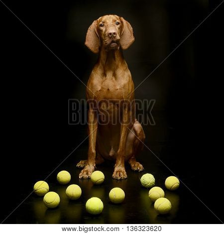 Hungarian Vizsla Sitting With Planty Of Tennis Ball In A Dark Studio