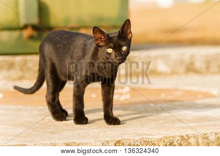 Young and cute black cat playing outside.