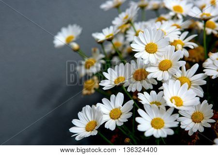 Daisy flowers background.Macro of beautiful white daisies flowers isolated on green background.