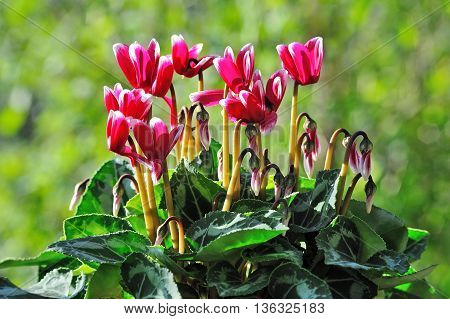Pink cyclamen in garden with blurred background