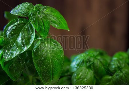 green basil leaves on wooden background. macro