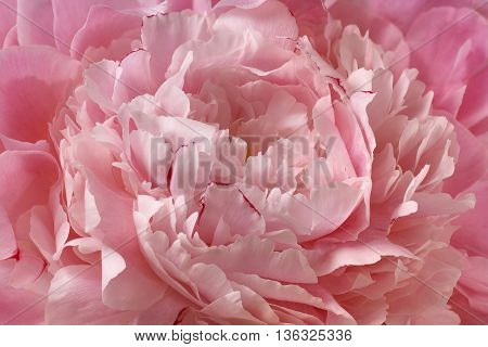 Pink peony rose flower petal background texture closeup macro for abstract health and beauty posters