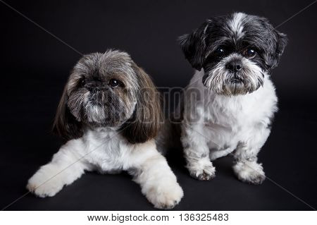 Portrait of two cute small dogs on dark background