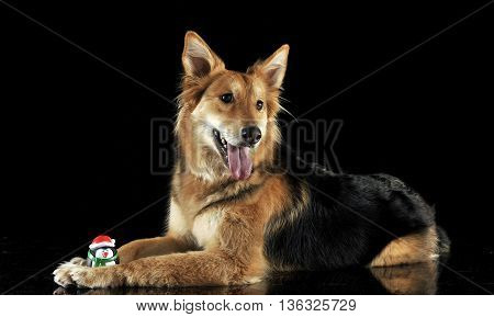 Cute Mixed Breed Dog With A Toy Lying In Black Studio