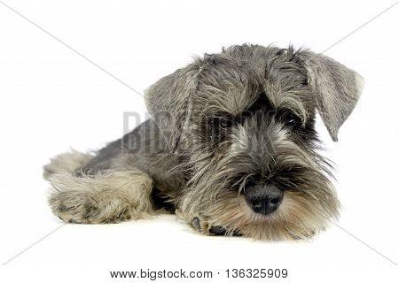 Puppy Schnauzer Lying In A White Photo Studio