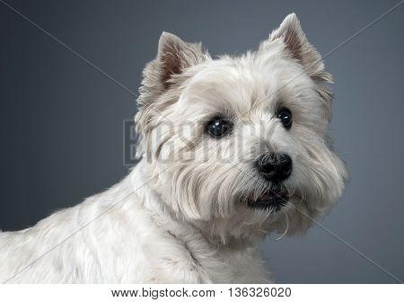 White West Highland Terrier Portait In Studio