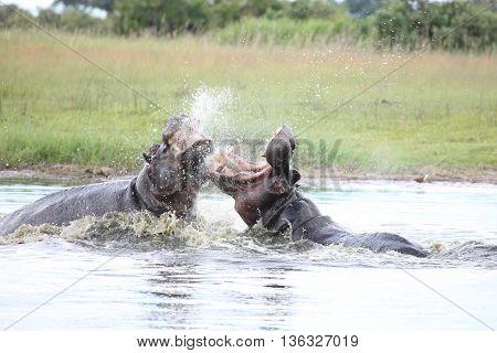 Wild Africa Botswana Savannah African Hippo Animal Mammal