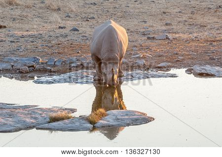 A black rhino Diceros bicornis drinking water at a dam in Namibia