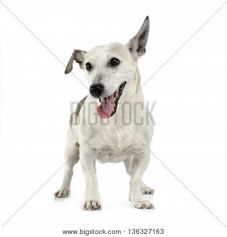 Funny Ears Mixed Breed Dog Standing In White Studio