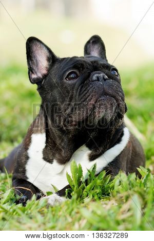 old dog French bulldog in the summer resting in the shade on the grass closeup portrait