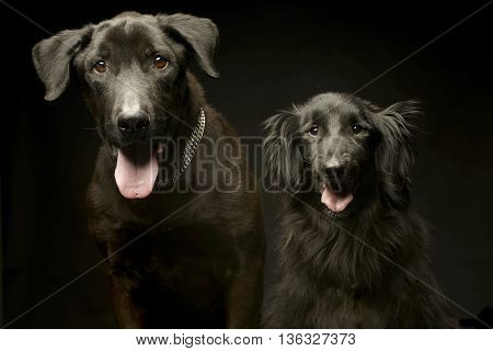 Mixed Breed Black Dogs Double Portrait In A Dark Photo Studio