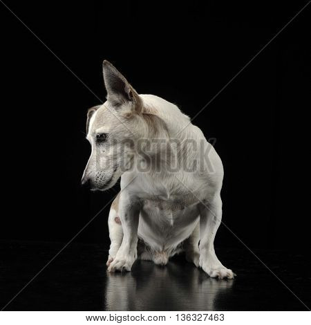 Mixed Breed Funny Ears Dog Sitting And Looking Down In A Dark Photo Studio