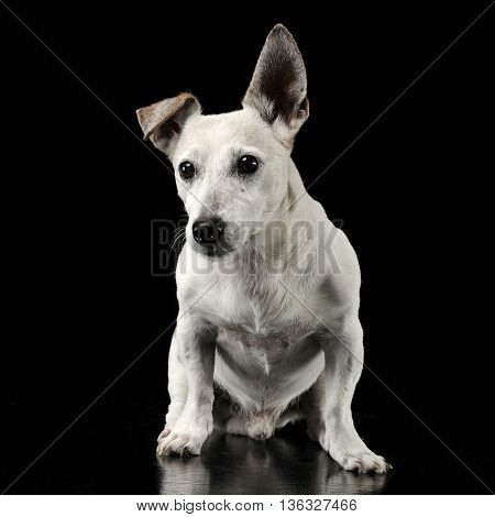 Mixed Breed Funny Ears Dog Sitting In A Dark Photo Studio