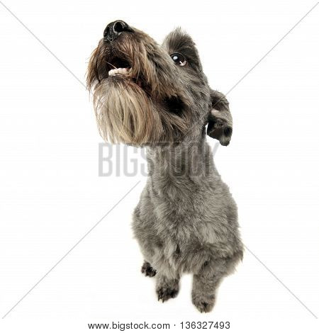 Mixed Breed Gray Cute Dogsitting And Lookig Up In A White Studio Background