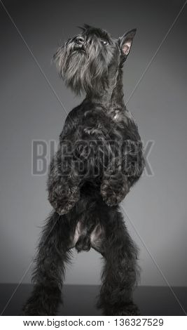 Miniature Schnauzer Standing In Two Legs In A Gray Studio Background