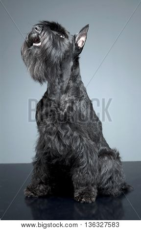 Miniature Schnauzer Sitting And Looking Up In A Gray Studio Background
