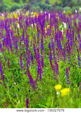 salvia flowers. summer meadow sage back ground