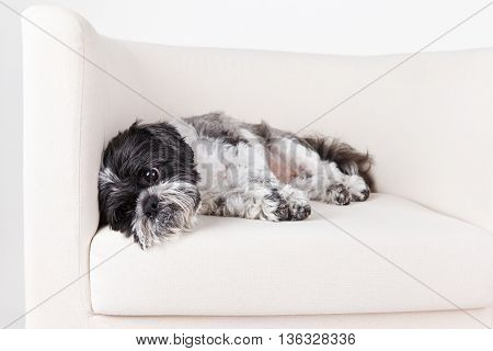 Portrait of a cute tired small dog laying on the sofa