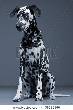 Cute Dalmatians Sitting And Looking Down In Blue Background Photo Studio