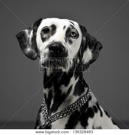 Cute Dalmatians Portrait In Gray Background Photo Studio