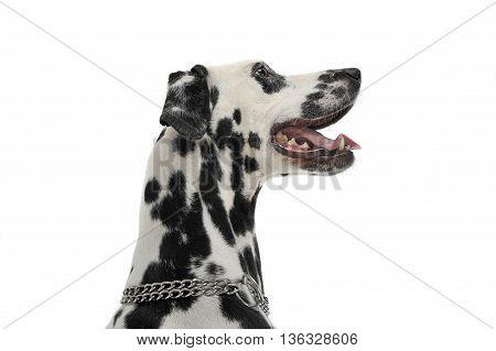 Cute Dalmatians Side Portrait In White Background Photo Studio