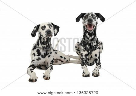 Two Cute Dalmatians Lying In White Background Photo Studio