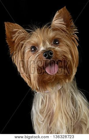 Cute Yorkshire Terrier In A Black Photo Studio