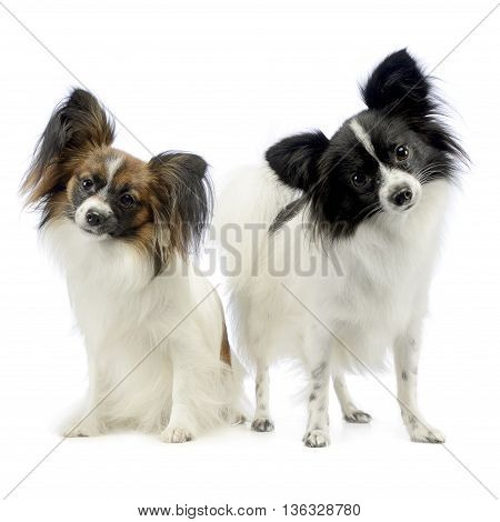 Two Cute Papillon Turning Heads In White Photo Studio